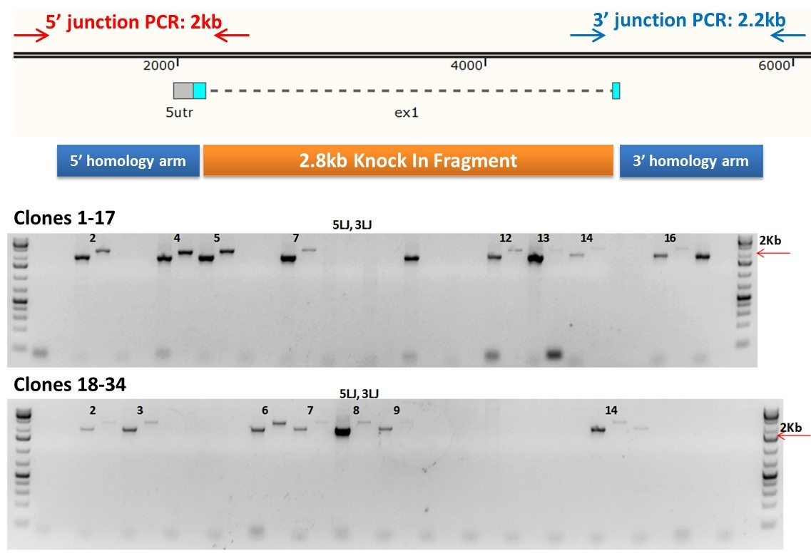 Case study 1 image - CRISPR cell line Cas9-mediated gene knock-ins in Jurkat Cells
