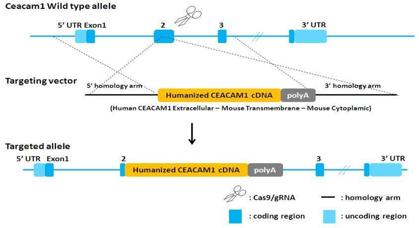Landingpage-ASHU-00116-CEACAM1-HU-ICPMouse-1