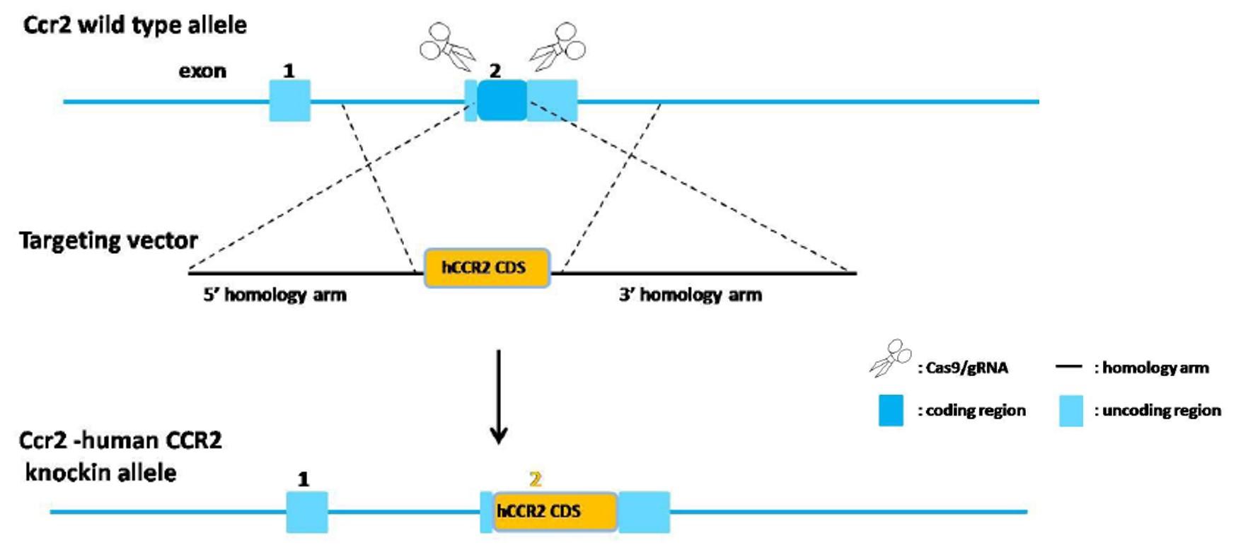 Landingpage-ASHU-18026-CCR2-HU-ICPMouse-3