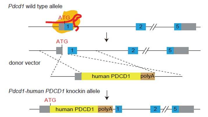 Strategy for Generating Humanized PD-1 (ASHU-00015) Mouse Model