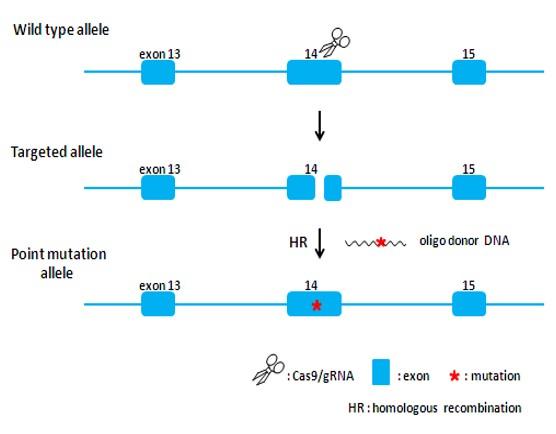 Landingpage-ASKI-18001-Atp7b(H1071Q)-KI-Mouse-1