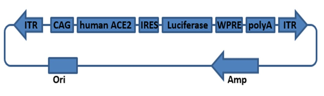 Landingpage-ASTG-200002-ACE2-HU-TGMouse-1.1