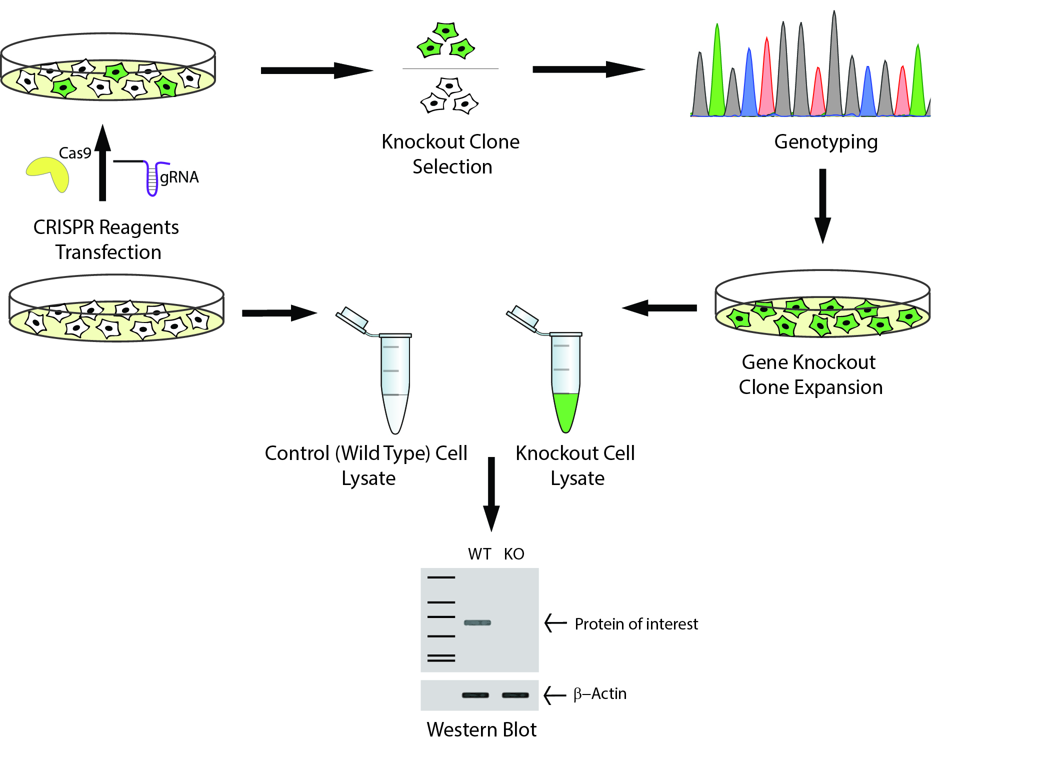 Cell Line Diagram Trusted Wiring Diagrams Fuel Cells Standard Antibody Validation Using Gene Knockout Lines Applied Stemcell Rh Appliedstemcell Com