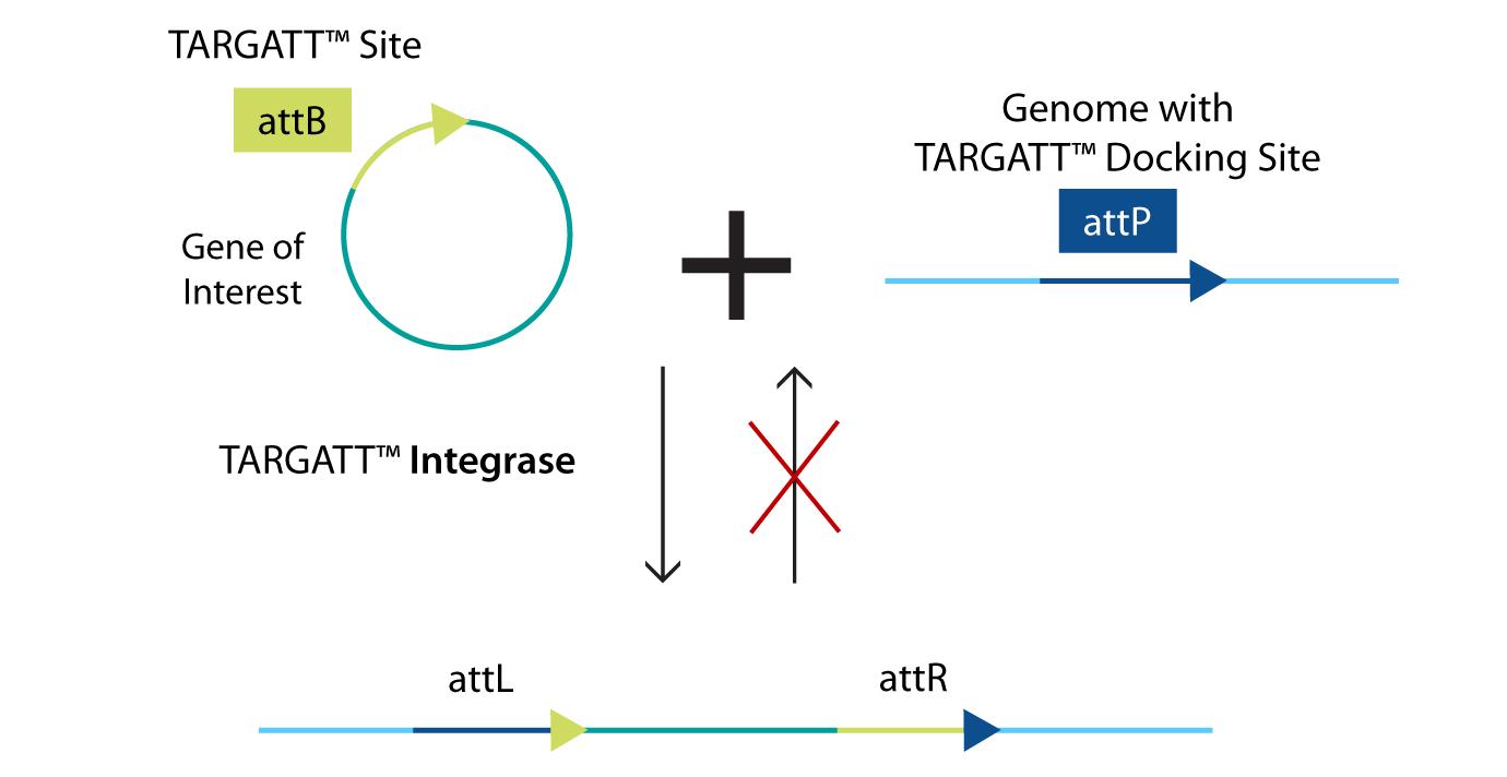 TARGATT™ Knock-In Schematic