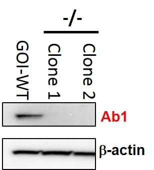 appnote-celllinemodels-antibodyscreening