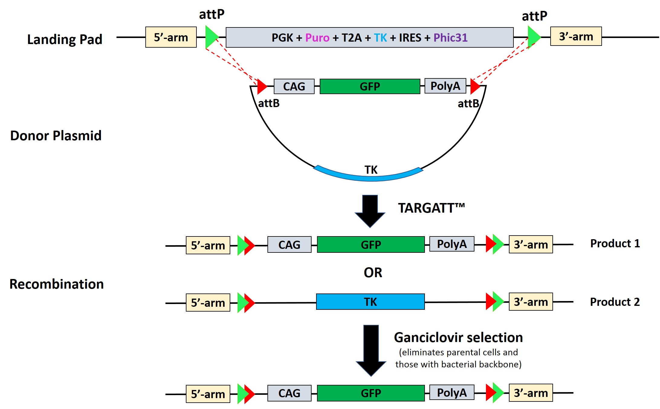 Antibody Discovery Site-Specific Gene Insertion Using TARGATT™ Master Cell Lines
