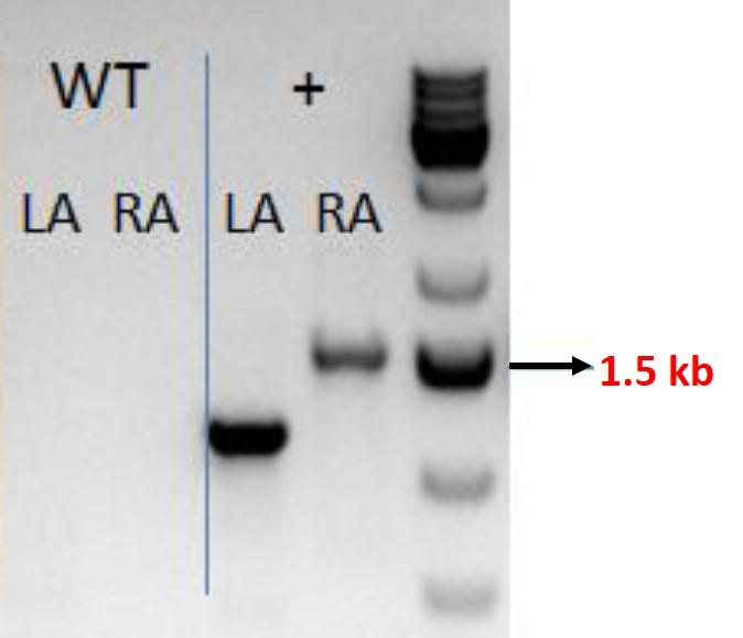 CASESTUDY-CRISPR-cell-large-ki-b