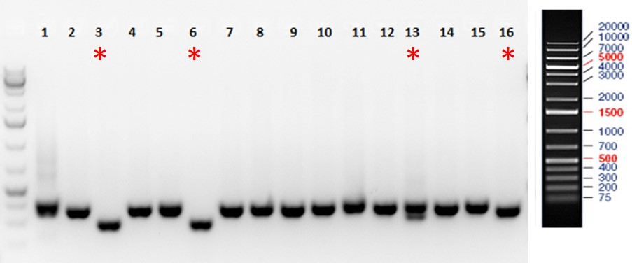 CASESTUDY-Rat-CRISPR-KO-1