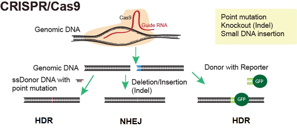 crispr mice diagram
