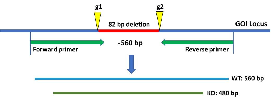 ASC-6012-1-crispr-knockout-cell-line-service-case-1