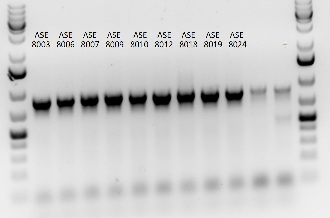 Mycoplasma contamination testing of Isogenic Cell lines lysates