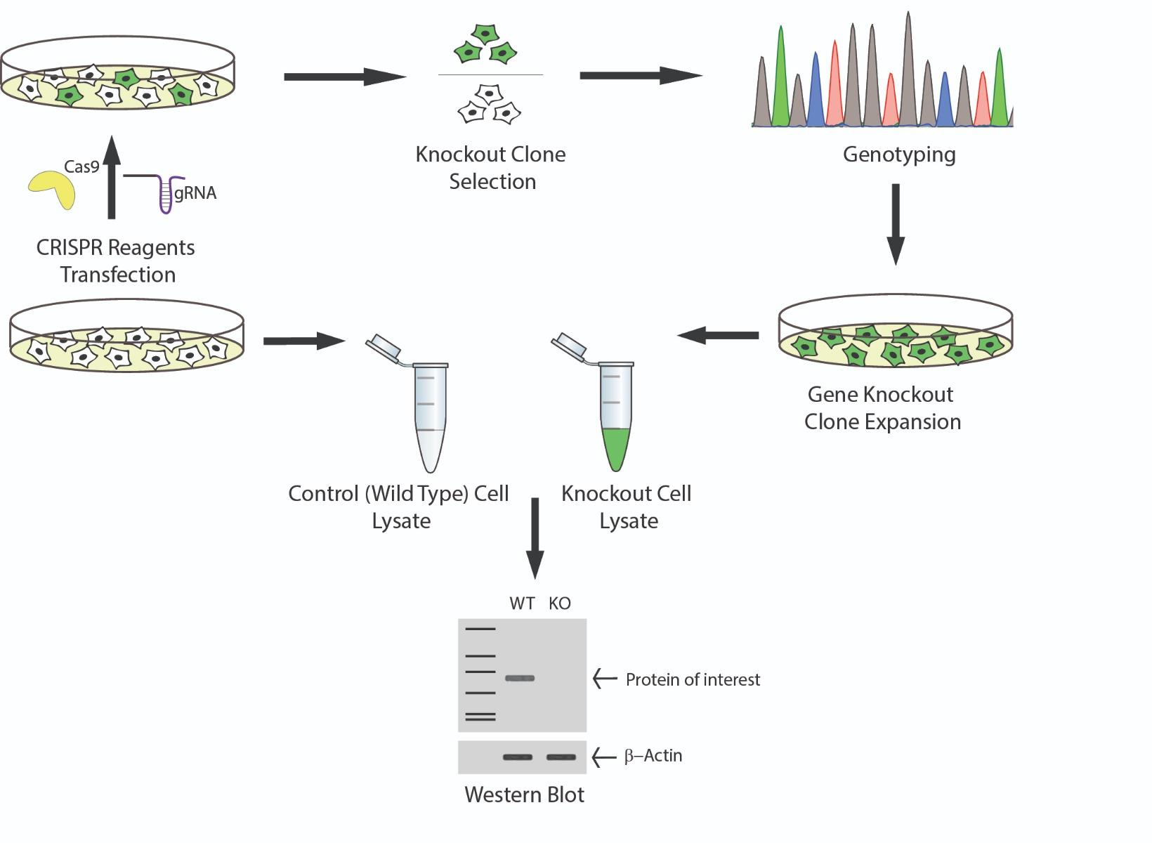 schematic-celllinemodels-antibody-validation