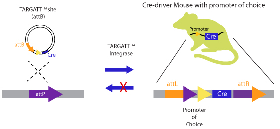SCHEMATIC-TARGATT-CRE-Rat