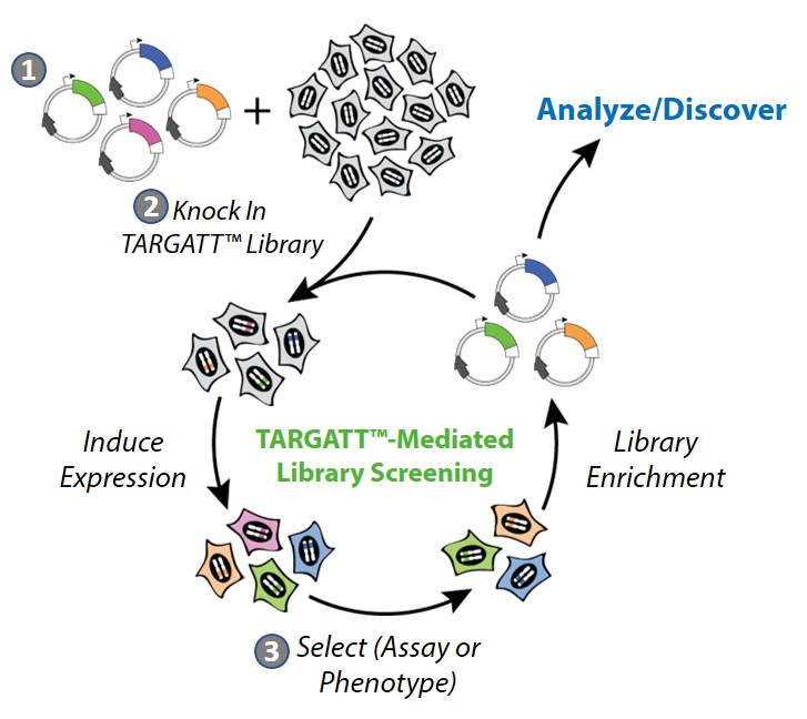 schematic-targatt-protein-evolution