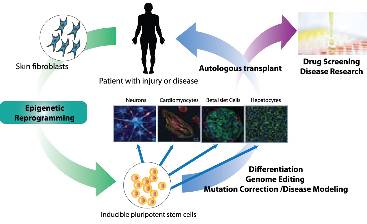 iPS Cell Genome Editing - iPSC Disease Modeling