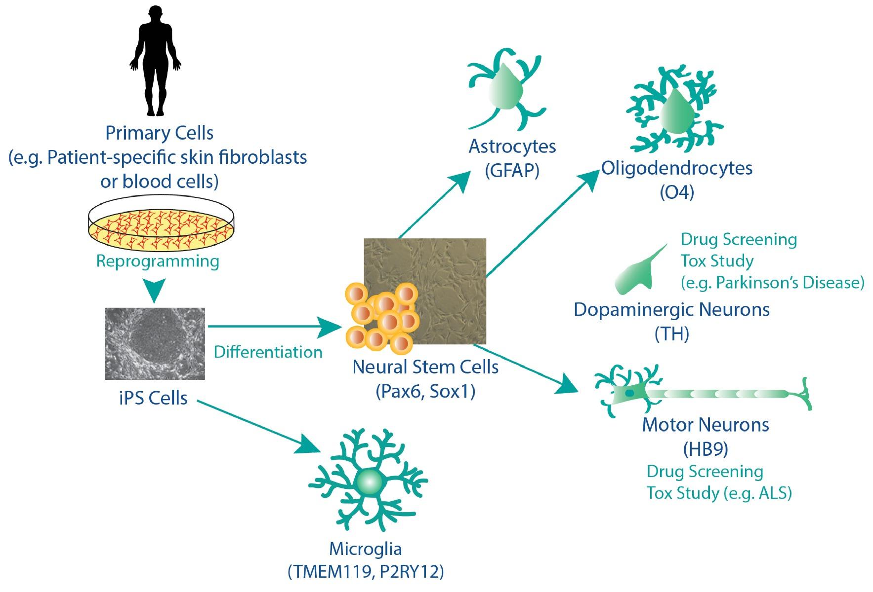 schematic-isogenic-microglia-nsc-astrocytes-neurons