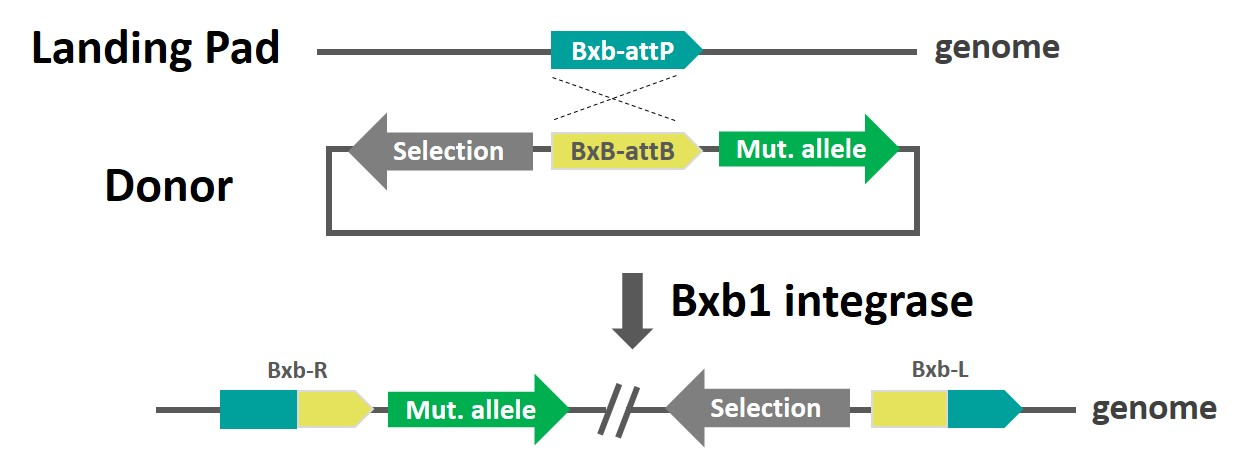 schematic-targatt-protein-evolution-bxb-int