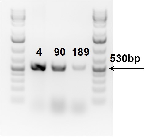 technical-targatt-ipsc-pcr-to-confirm-ki-Rosa26locus-6