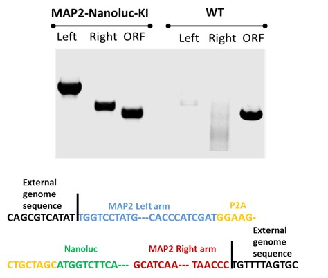 Image 2 - Sequence Validation for MAP2-Nanoluc-Halotag Knock-in Heterozygous iPSC lines
