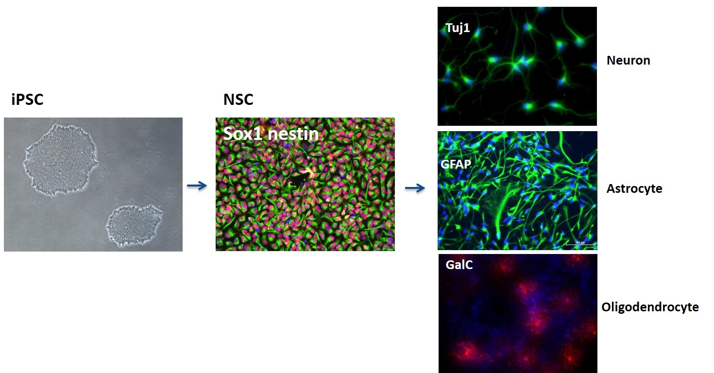 Isogenic neural stem cell - Astrocytes Cells Line