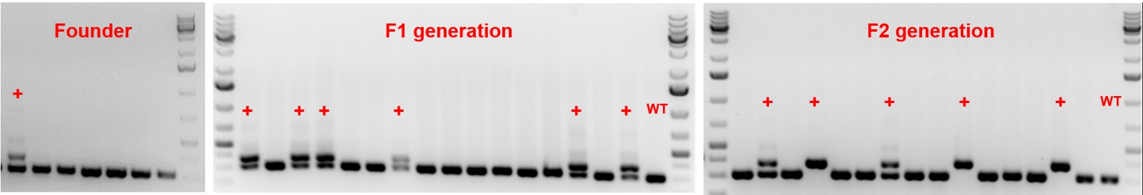 TARGATT-rat-genotyping-1