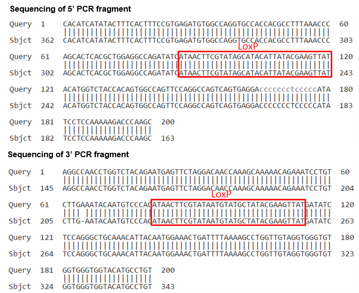 conditional knockout mouse sequencing of PCR fragment