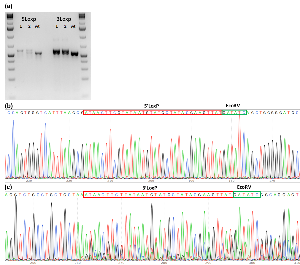 conditional knockout mouse PCR genotype screening of founder mice