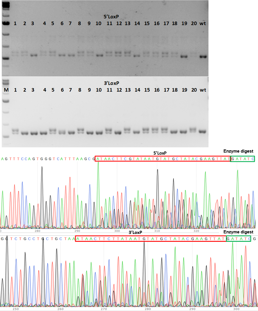 conditional knockout mouse PCR genotype screening of F1 CKO mice