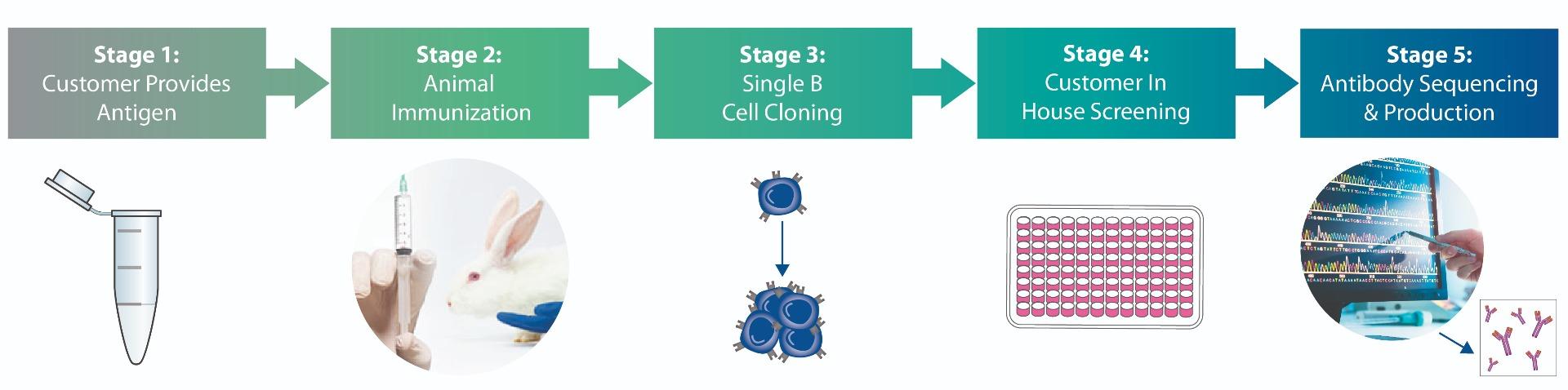 Rabbit Monoclonal Antibody Discovery Platform